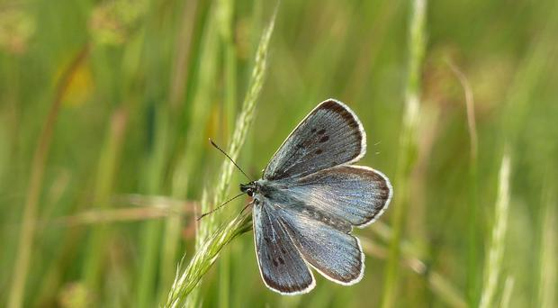 The large blue butterfly saw its best year on record (Nick Edge/Butterfly Conservation/PA)