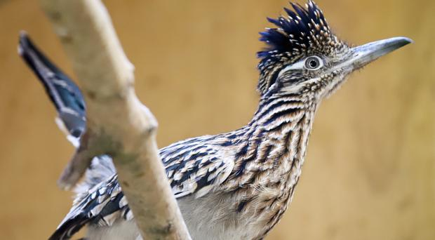 Californian earth cuckoos are more commonly known as roadrunners (Paignton Zoo/PA)