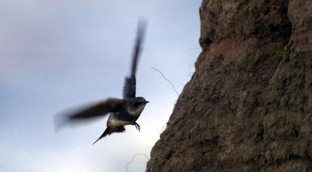 Netting on cliffs at Bacton was preventing sand martins from returning to their burrows (Haydn West/PA)