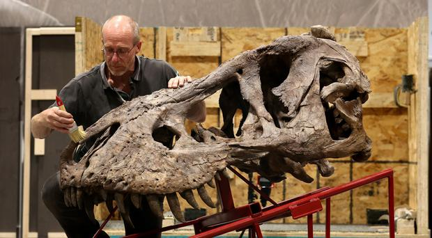 The T-rex skull is unpacked ready for construction at Glasgow's Kelvin Hall (Andrew Milligan/PA)