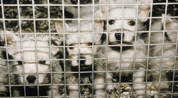 New regulations will be drafted to modernise the breeding of dogs, cats and rabbits in Scotland (RPSCA/PA)