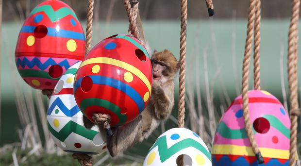 Barbary macaques explore the Easter-themed enrichment provided for them at Blair Drummond Safari Park (Andrew Milligan/PA)