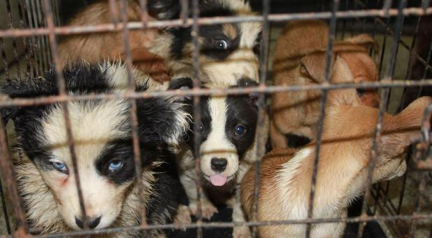 A taskforce was launched in 2015 to crack down on puppy breeders (HMRC/PA)