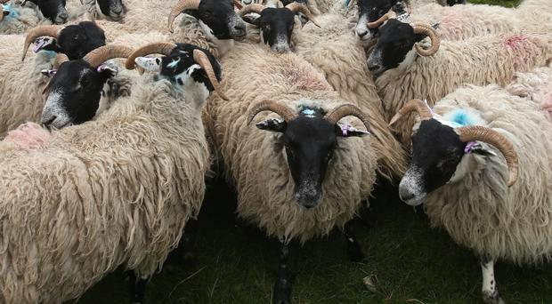 Scottish Blackface ewes were stolen between some point in mid-March to mid-April (Andrew Milligan/PA
