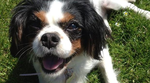 Legislation named after Lucy, a Cavalier King Charles Spaniel who died in 2016 after being poorly treated on a Welsh puppy farm, will be laid in Parliament on Monday (Defra/PA)