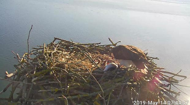 The third chick to hatch from Maya and 33's clutch brings the total for the reintroduction project to 150 (Rutland Osprey Project/PA)