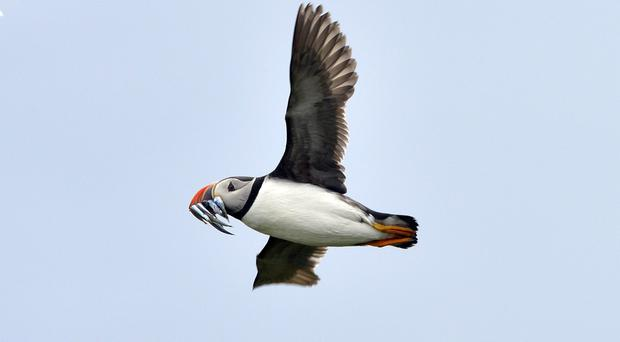 People are being asked to submit pictures of puffins with fish in their bills (Owen Humphreys/PA)