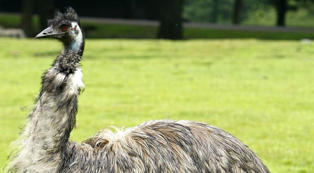 An emu escaped in Ecclefechan, Dumfries and Galloway (Peter Byrne/PA)