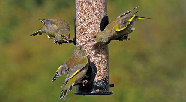 Greenfinches are among the birds which visit bird feeders (Jill Pakenham/BTO)