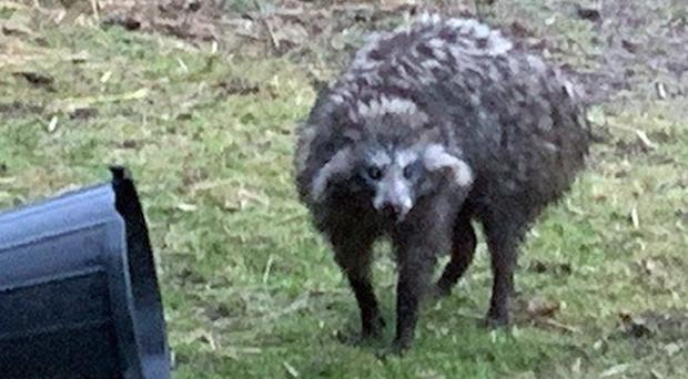 One of the raccoon dogs which escaped from their enclosure (Nottinghamshire Police/PA)