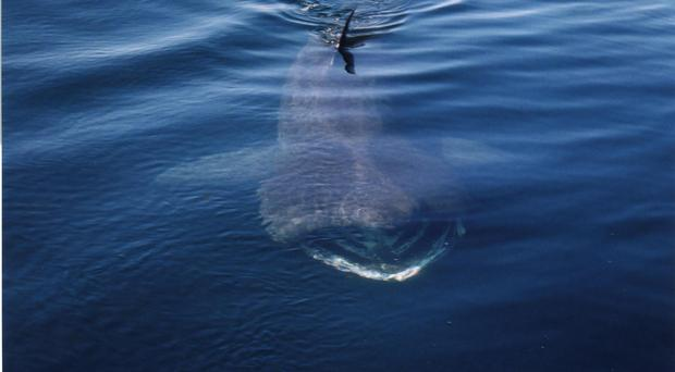 New Marine Protected Areas have been proposed in Scottish waters to support species including basking sharks (Colin Speedie/Swiss Shark Founda/PA)