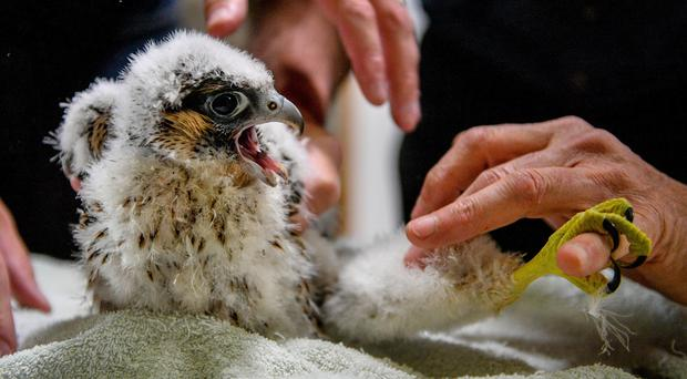 A peregrine falcon chick pinches the finger of a RSPB expert handler during ringing and data collection of the birds in the tower at Salisbury Cathedral, where four newly hatched birds of prey are nesting along with mum and dad on the South tower (Ben Birchall/PA)