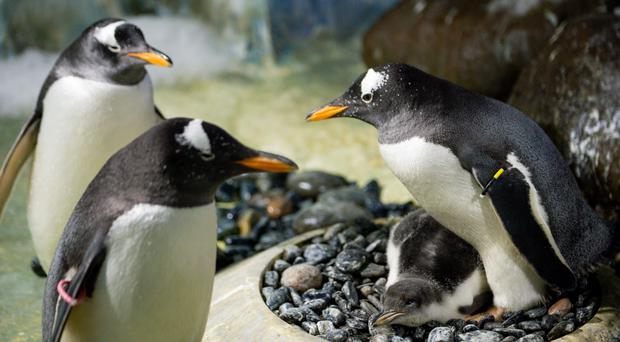 A rare baby Gentoo penguin which was hatched at the National Sea Life Centre in Birmingham (Jacob King/PA)