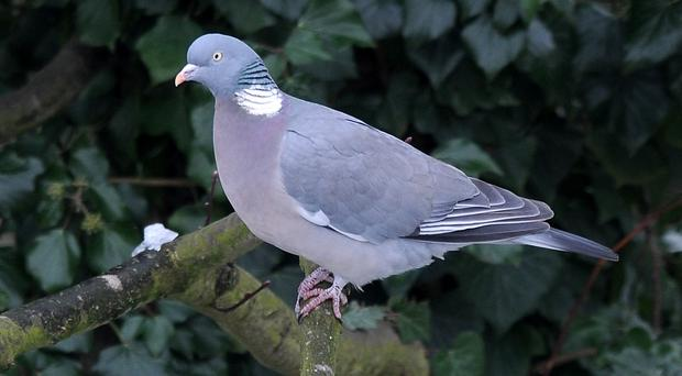 The helicopter was struck by a wood pigeon (Tim Goode/PA)