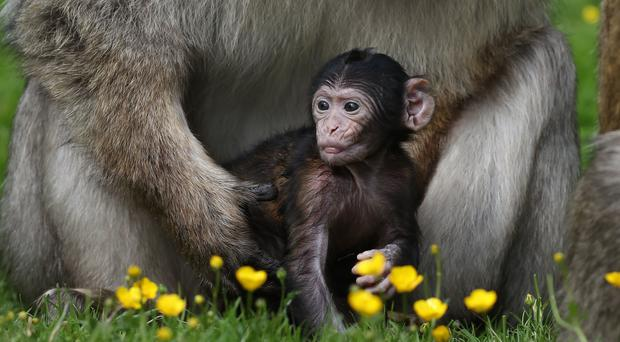 Three-week-old Barbary macaque Daisy in the arms of her father Oliver (Andrew Milligan/PA)