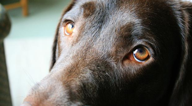 Dogs have evolved their 'sad eyes' expression in order to help them get on better with humans, according to new research (University of Portsmouth/PA)