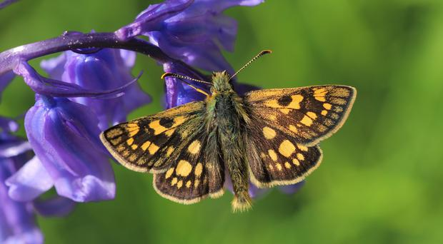 English-born chequered skippers are on the wing in this country again (Mark Searle/Butterfly Conservation/PA)