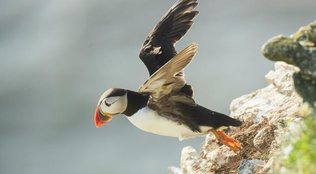 A puffin nests at the RSPB nature reserve at Bempton Cliffs (Danny Lawson/PA)