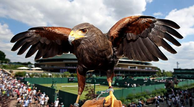 Rufus the Harris hawk helps to keep birds and vermin away from the All England Lawn Tennis and Croquet Club during Wimbledon fortnight (Philip Toscano/PA)