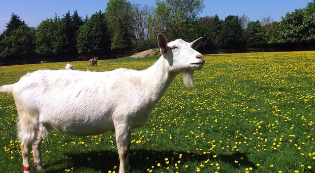 Goats can pick out emotional changes in the calls of other goats (Christian Nawroth/PA)