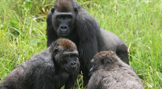 Western Gorillas at the Mbeli Bai Clearing in Nouabale-Ndoki National Park (Wildlife Conservation Society)