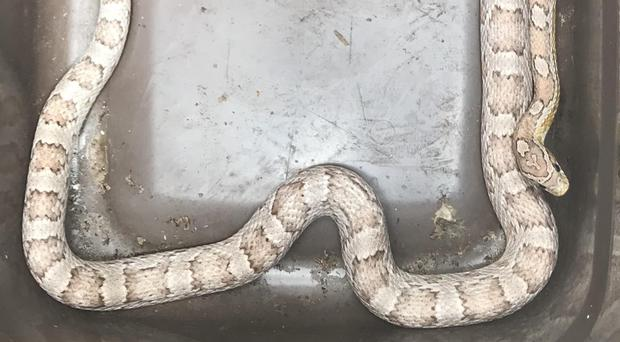 The corn snake was discovered in a kitchen drawer (RSPCA/PA)