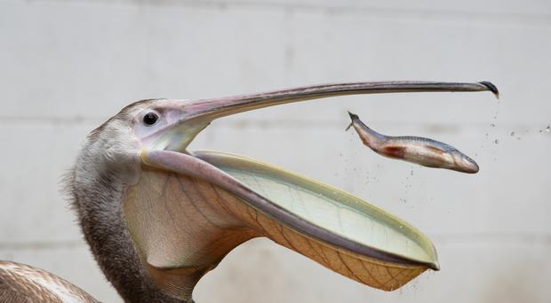A pelican called Moon during feeding time at St James's Park (Aaron Chown/PA)
