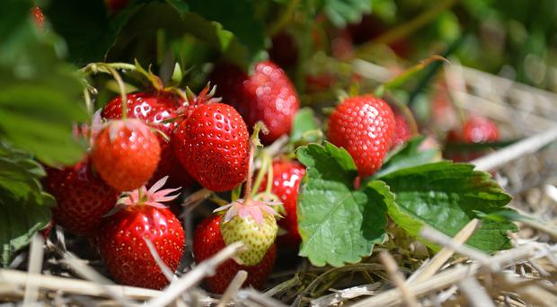 Strawberries at a farm in Kent.
