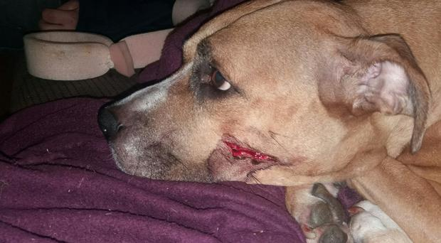 Zena was injured with a machete whilst trying to defend her five-week-old puppies (GMP/PA)