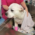 American Bulldog Finlay, receiving urgent cooling treatment (PDSA)