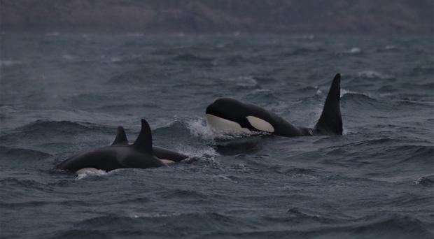 The mystery killer whale pod seen near Vatersay (Hebridean Whale and Dolphin Trust/PA)