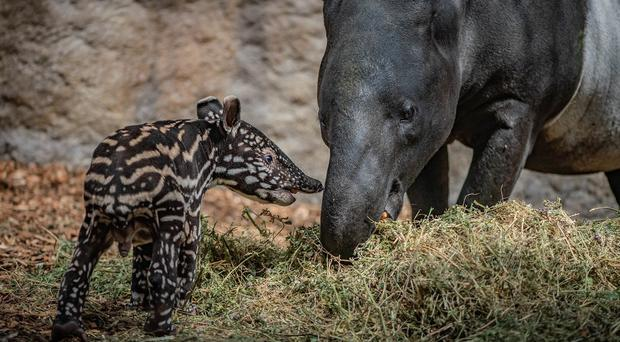 Baby tapir born at Chester Zoo (Chester Zoo)