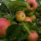 An apple carries around 100 million bacteria, researchers say (Gareth Fuller/PA)