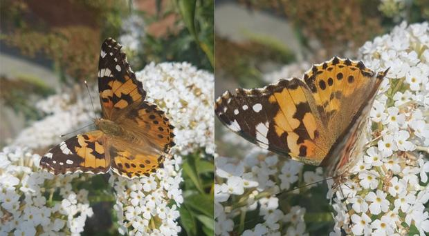 A painted lady butterfly (Graham Connolly)