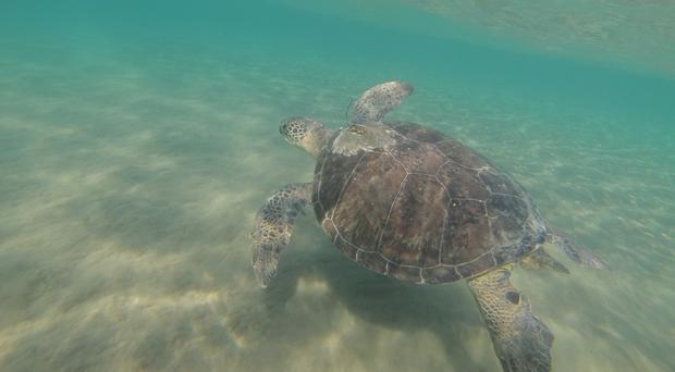 Green turtle swimming off Cyprus (Emily Duncan/PA)