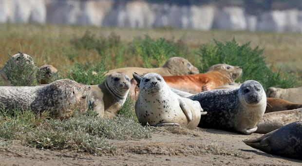 Harbour and grey seals bask in the morning sunshine near Ramsgate in Kent as ZSL carries out its annual seal census on the River Thames (Gareth Fuller/PA)