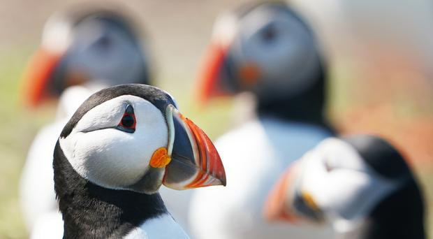 Researchers surveyed the population of birds such as puffins (Owen Humphreys/PA)
