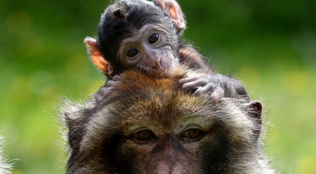 Comparisons between humans and macaque monkeys show the difficulty in stopping reactive responses is similar in our primate counterparts(Andrew Milligan/PA)