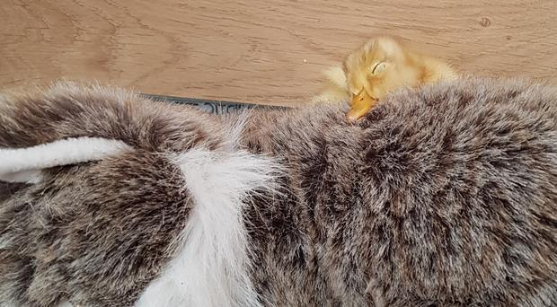 The abandoned duckling has adopted the toy cat as its mother (Eileen Neill/PA)