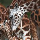 Countries have voted for measures to stop the 'silent extinction' of giraffes (Peter Byrne/PA)