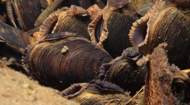 Freshwater pearl mussels have been found in a Scottish river (Sue Scott/SNH/PA)