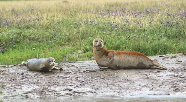 Harbour seals breed in the Thames Estuary (Graham Mee/SE RSPB/PA)