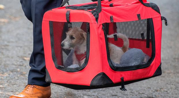 Downing Street has a new resident after rescue puppy Dilyn entered Number 10