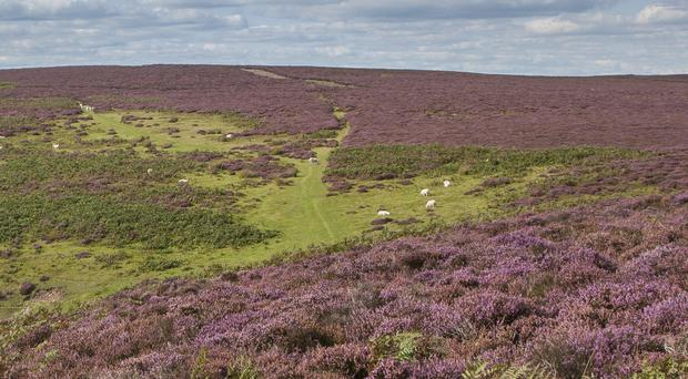The Long Mynd, cared for by the National Trust, has been a purple haze of heather at this time of year in previous years (PJ Howsam/National Trust/PA)