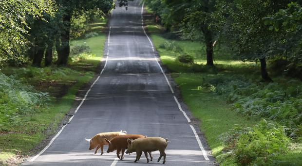 Domestic pigs roam the roads near Burley in the New Forest in Hampshire, during Pannage, or 'common of mast' (PA/Andrew Matthews)