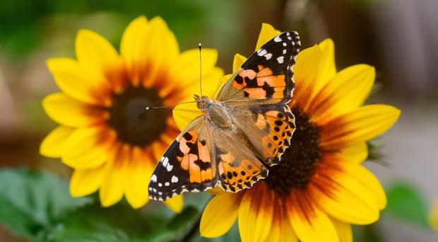 This year was a 'painted lady summer', conservationists have said (Andrew Cooper/Butterfly Conservation/PA)