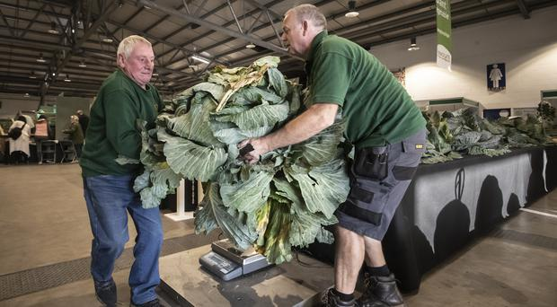 A cabbage is weighed as judging takes place during the giant vegetable competition at the Harrogate Autumn Flower Show (Danny Lawson/PA)