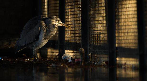 The winning picture, Behind Bars, of a grey heron (Daniel Trim/BWPA/PA)