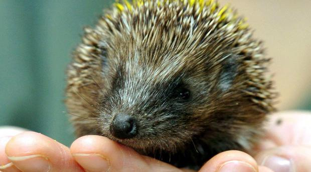 The hoglet was spotted in front of the plane (Chris Radburn/PA)