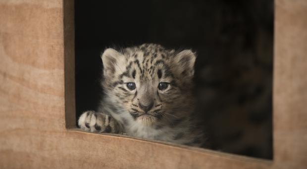 The cubs have started to leave their cubbing box and explore outside (Sian Addison/RZSS)